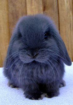american blue bunny    beautiful <3