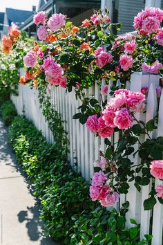 Newport Roses by Raymond Forbes LLC - Fence, Rose - Stocksy United Trailing Flowers, All Flowers, Pretty Flowers, Beautiful Roses, Beautiful Gardens, Heather Gardens, Flower Fence, Narrow Garden, Beautiful Landscape Wallpaper