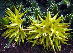 orbeopsis lutea