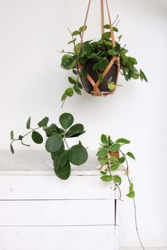 Pretty Plants, Cool Places and Friends - An update from Clever Bloom #hoya #indoorplants #houseplantclub #houseplants #hangingplants