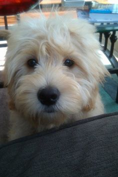 Mini Goldendoodle...I love his/her eyes!
