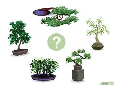 "How to Start a Bonsai Tree. The ancient art of growing Bonsai trees is well over a thousand years old. Many individuals are not aware that a simple potted plant is literally the meaning of Bonsai, ""Potted Plant. Boxwood Bonsai, Bonsai Garden, Bonsai Tree Care, Indoor Bonsai Tree, Bonsai Trees, Plantas Bonsai, Bonsai For Beginners, Juniper Bonsai, Landscaping Trees"