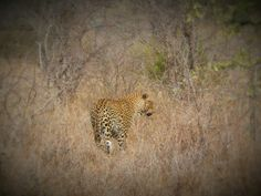 Fleeting sighting of a leopard in the Kruger National Park, South Africa  #leopard #krugernationalpark #southafrica