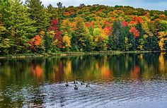 Serenity 2.  Canada geese appear to be part of an autumn dream as they glide across the reflected fall colors on Mayflower Lake in Muskok's Arrowhead Provincial Park.