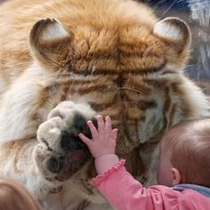 Taj, a 370 pound tiger bows its head and placed its paw up to a small girl!!