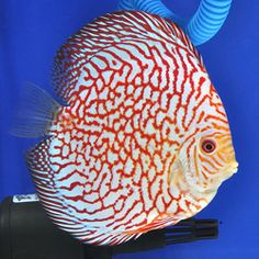 "Pigeon Blood Discus: Created in 1991 by Thailand breeder ""Kitti Phanaitthi"", Pigeon Bloods have a bright white, sometimes cream-colored body with bright red striations and, most notably, a solid black tail."