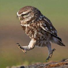 Owl trot