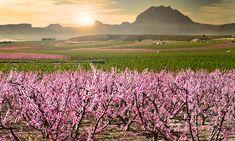 La floración de los frutales de Cieza (o cómo ver Murcia de color de rosa)