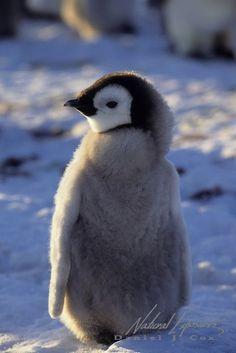Emperor Penguin chick (copyright: Daniel J. Penguin Love, Cute Penguins, Cute Baby Penguin, Penguin Craft, Like Animals, Cute Baby Animals, Crazy Cat Lady, Crazy Cats, Beautiful Birds