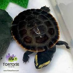Buy Pink Belly sideneck turtles for sale online. Turtle breeders offer captive bred baby Pink Belly side necked turtles for sale online from turtle store. Baby Turtles For Sale, Cute Turtles, Turtle Store, Freshwater Turtles, Slider Turtle, Aquatic Turtles, Tortoises, Fresh Water, Cute Animals