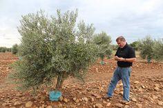 Olives cassées de la vallée des Baux-de-Provence Les olives cassées de la vallée des Baux-de-Provence sont protégées par une appellation d'origine contrôlée (AOC) depuis un décret pris par l'INAO, le 27 août 1997 et paru au Journal officiel n° 199, le...