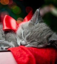 Gray kitten with red bow sleeping
