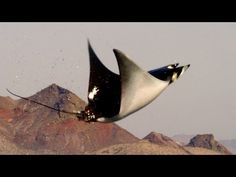 Mobula Rays belly flop to attract a mate - Shark: Episode 2 Preview - BBC One - YouTube