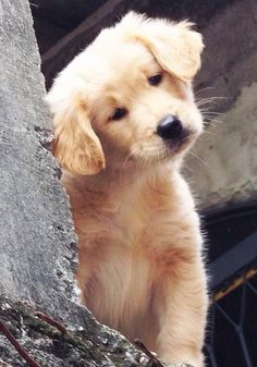 Pinterest | SophiaaDaher Dogs Golden Retriever, Retriever Puppy, Golden Retrievers, Golden Retriever Training, Cute Little Puppies, Cute Puppies, Cute Dogs, I Love Dogs, All Dogs
