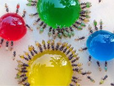 Mohamed Babu created technicolor ants by feeding colored sugar water to ants with translucent abdomens. Babu conducted the experiment in his backyard after his wife noticed the ants turning white as they drank spilled milk.