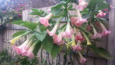 Angel's Trumpet (Brugmansia aurea) in full bloom