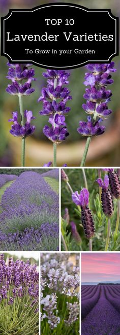 TOP 10 Lavender Varieties To Grow in your Garden Top ten lavender varieties to grow in your garden Types Of Lavender Plants, Lavender Varieties, Lavender Garden, Lavender Flowers, Lavander, Lavender Blue, Blue Flowers, Lilac, Small Garden Shrubs