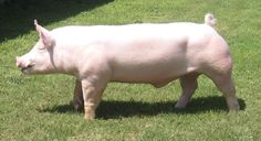 Cattle Farming, Pig Farming, Pretty Animals, Cute Animals, Large Animals, Animals And Pets, Hereford Pigs, Raza Yorkshire, Pig Breeds