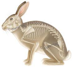 Susunan Tulang Kelinci | Rabbit and Anatomy