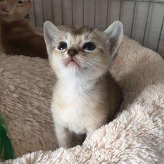 Abessijn kitten Galo <3