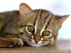 """Rusty Spotted Cat. They are the smallest of the wildcats. Nicknamed """"the hummingbirds of the cat family""""."""