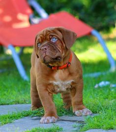 Free stock photo: Dog, Dogue De Bordeaux, Puppy - Free Image on . Mastiff Breeds, Mastiff Dogs, Giant Dog Breeds, Giant Dogs, French Mastiff Puppies, Wallpaper English, British Mastiff, Girl Dog Names, Puppy Grooming