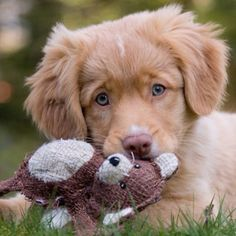 Nova Scotia Duck Tolling Retriever - these guys are so neat!  The smallest of the retrievers, and the cutest, I think.