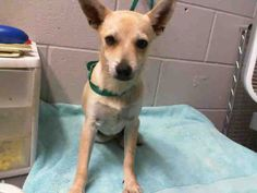 This DOG-ID#A469278  I am a male, tan Chihuahua - Smooth Coated mix. Shelter staff think I am about 11 weeks old. I have been at the shelter since Jul 16, 2014.  If you are my owner, you must physically come to the shelter to claim me. We are located at 333 Chandler Place, San Bernardino, CA 92408. Our Lost & Found hours are Tuesday-Saturday 10:00 am to 5 pm.