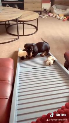 Cute Funny Dogs, Top Funny, Cute Funny Animals, Dachshund Puppies, Dachshund Love, Dachshunds, Dog Videos, Dog Life, Dog Breeds