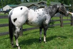 appaloosa stallions - Google Search