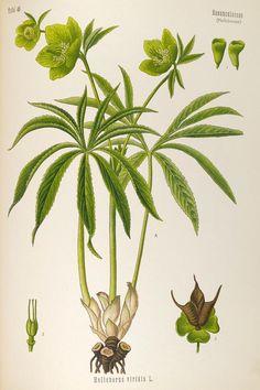 v.4 - Köhler's Medizinal-Pflanzen in naturgetreuen Abbildungen mit kurz erläuterndem Texte : - Biodiversity Heritage Library
