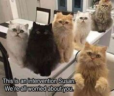Persian cat, Norwegian Forest cat, The Cat Lady, Japan, Long-tailed chinchilla, Kitten, Felidae Meme: This Isan intervention Susan We're all worried about you
