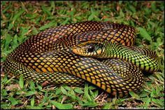 Slithering Jewel - Speckled Racer (Drymobius margaritiferus) #snake #reptile #biodiversity
