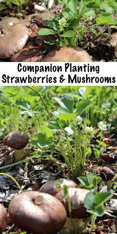 Planting Strawberries and Mushrooms ~ Growing Mushrooms with Strawberries to Increase Yields in Permaculture Plantings. Companion Planting Strawberries and Mushrooms ~ Growing Mushrooms with Strawberries to Increase Yields in Permaculture Plantings. Strawberry Companion Plants, Strawberry Plants, Strawberry Garden, Grow Strawberries, Garden Insects, Garden Plants, Organic Gardening, Gardening Tips, Desert Gardening