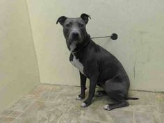 Brooklyn Center  XENA - A1015019  FEMALE, BLUE / WHITE, PIT BULL MIX, 1 yr STRAY - STRAY WAIT, NO HOLD Reason STRAY  Intake condition EXAM REQ Intake Date 09/23/2014, From NY 11432, DueOut Date 09/26/2014, I came in with Group/Litter #K14-195306. https://www.facebook.com/Urgentdeathrowdogs/photos/a.876012215744992.1073743276.152876678058553/875354205810793/?type=1