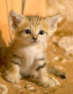 Filhote do gato-do-deserto (Felis margarita), que é o menor membro do gênero Felis, juntamente com o gato-bravo-de-patas-negras (Felis nigripes). Apenas alcança os 50 cm de comprimento (cabeça e corpo), mais 30 cm da cauda. Os maiores machos chegam aos 3.5 kg de peso.  http://tailandfur.com/beautiful-and-strange-animal-pictures/2/