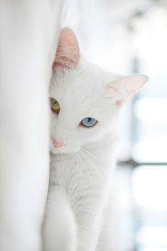 Cute kitty with one yellow & one blue eye ✿⊱╮