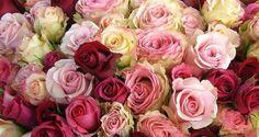 les plus belles roses du monde | Nos roses de la Saint-Valentin assèchent un lac au Kenya