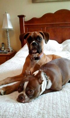 Boxer and Boston (the two breeds I really love <3)