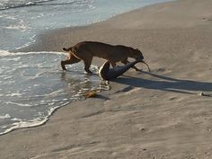 Bobcat catches shark on Florida beach!!   Taken Monday, April 6, 2015 at Sebastian Inlet Sate Park - a Florida State Park located 10 miles south of Melbourne Beach.  Photo: Photo by John Bailey    http://m.local10.com/news/bobcat-catches-shark-on-florida-beach/32237440
