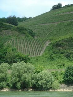 The vineyards of the Rhine River in Germany.