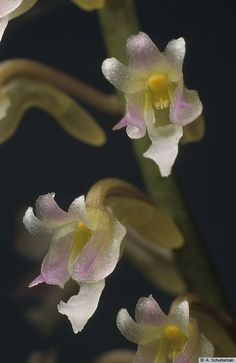 Flower-detail of Schoenorchis secundiflora - Found only in Thailand, Malaysia and Borneo in lowland forests, mangroves and on trees near rivers as a miniature-sized, hot-growing, monopodial epiphyte.