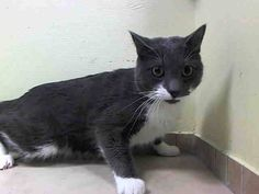 TO BE DESTROYED 5/19/14Brooklyn CenterMy name is BRUCE. My Animal ID # is A0997972.I am a neutered male gray and white domestic sh mix. The shelter thinks I am about 2 YEARS old.I came in the shelter as a STRAY on 04/27/2014 from NY 11228, owner surrender reason stated was STRAY.MOST RECENT MEDICAL INFORMATION AND WEIGHT05/17/2014 Exam Type RE-EXAM - Medical Rating is 3 C - MAJOR CONDITIONS , Behavior Rating is AVERAGE, Weight 9.5 LBS.URI NOTED ON VET ROUNDS RECOMMEND TREATMENT - DOXYCYCLINE…