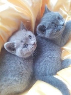 #British #shorthair #kittens male and female available now  #adoption #newhome #CatsOfTwitter #cats @PostingFirst  www.postingfirst.com Very Cute Baby, Cute Baby Cats, Cute Babies, British Shorthair Kittens, Pets For Sale, Reptiles, Animal Pictures, Pet Dogs, Your Pet