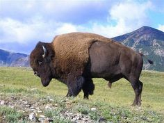 Researchers have confirmed that the Henry Mountains of southern Utah are home to a rare, genetically pure bison herd. The team included Utah State University scientists who analyzed tissue samples from the bison.Dr. Johan du Toit, professor of...