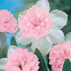 We are proud to offer the finest pink double daffodil we have ever seen! Rosy Cloud features creamy white outer petals that surround a beautiful pink double cup. Long-lasting, fragrant blooms make it Луковичные Цветы, Нарциссы, Тюльпаны, Красивые Цветы, Уличные Растения, Садовые Растения, Садовые Грядки, Садоводство, Сад