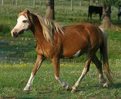 The Promise Firefly (Dandardel Warbonnet x Holt's Cindy). A pretty splashy welsh mare