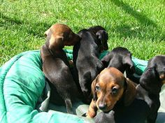 How To Breed Dachshunds