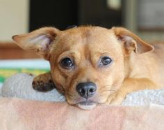 Arturo is an adoptable Chihuahua Dog in Falls Church, VA FOR MORE INFORMATION OR AN ADOPTION APPLICATION EMAIL ********************dondragardner4747@gma ... ...Read more about me on @petfinder.com