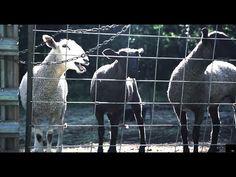 The Screaming Sheep Farm - YouTube